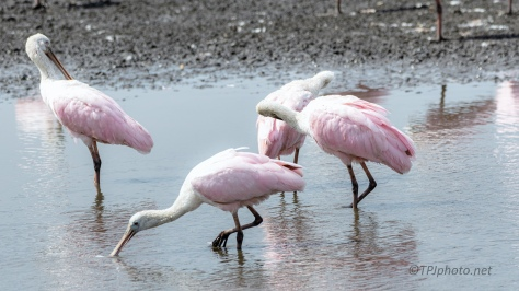Plodding Along, Spoonbill