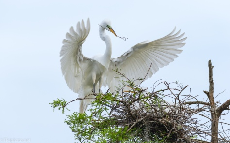 Getting The Shot, Great Egret