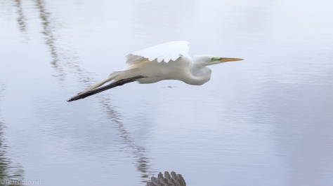 An Egret Fly By