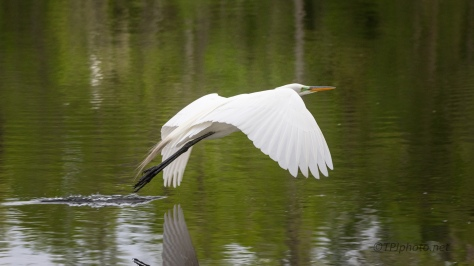 A Quick Flight, Great Egret