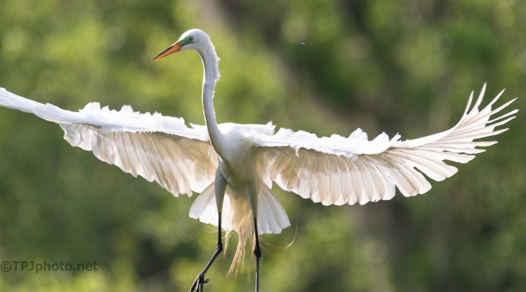 Close Landing, Great Egret