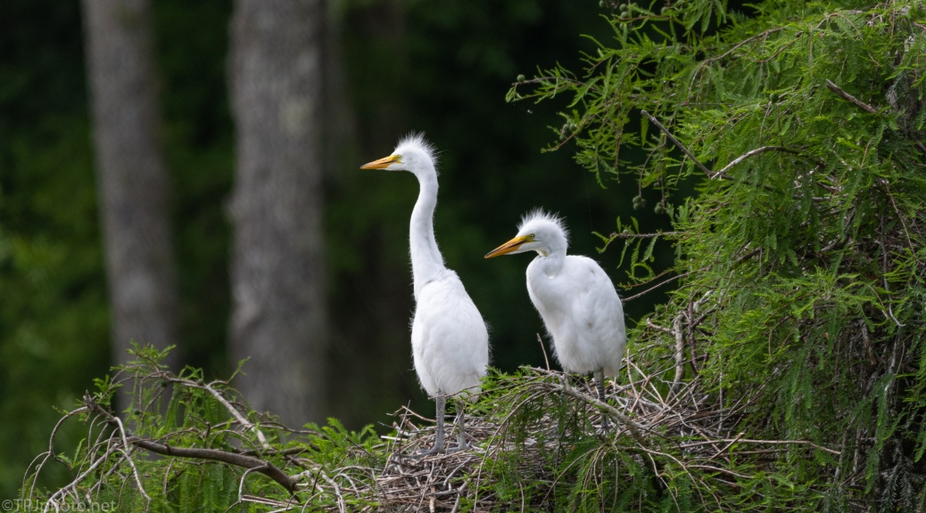 Watching Others Fly, Egrets