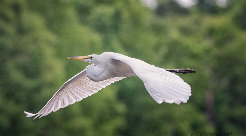 Great Egret, In Flight