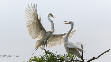 Great Egret Conversation