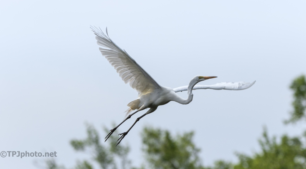Taking Fligh, Great Egret