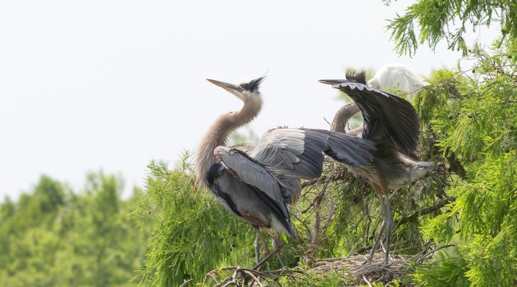 Watching Others Take Flight, Herons