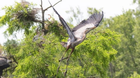Taking Flight, Great Blue Heron