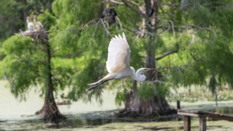 Great Egret, Plantation Swamp