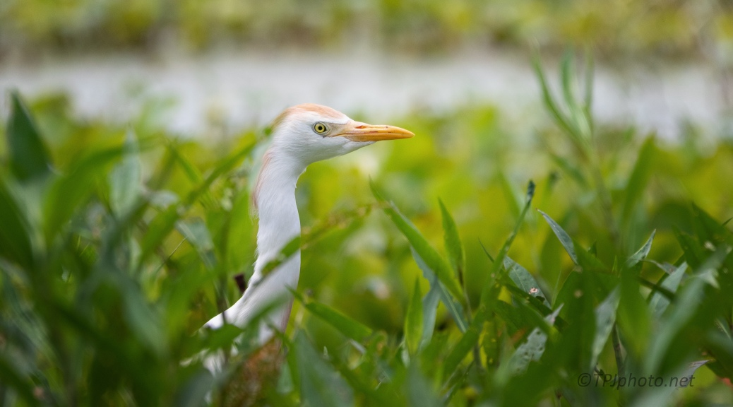 I Lost At Hide And Seek, Cattle Egret