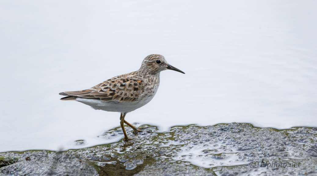 Willet, Bank Of A Marsh