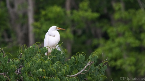 Egret Getting A Late Start