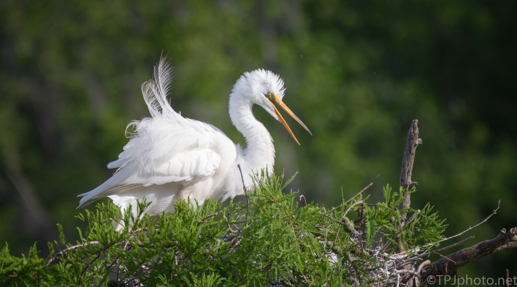 Great Egret, At A Nest Tree