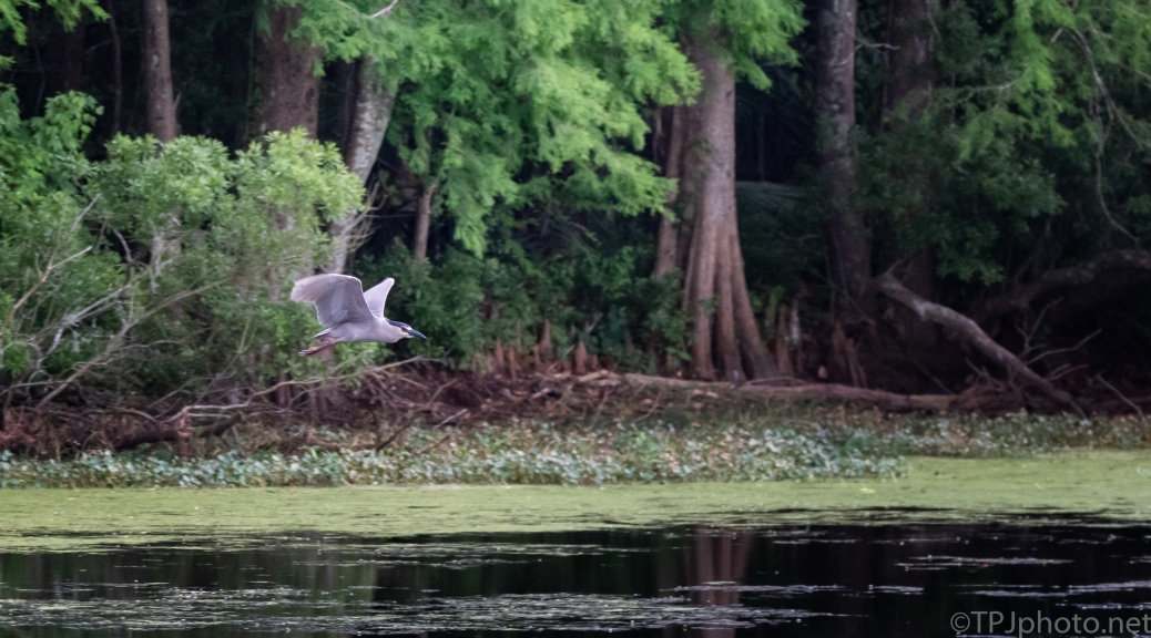 Low Flying Night Heron