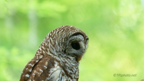 Head Shot, Barred Owl