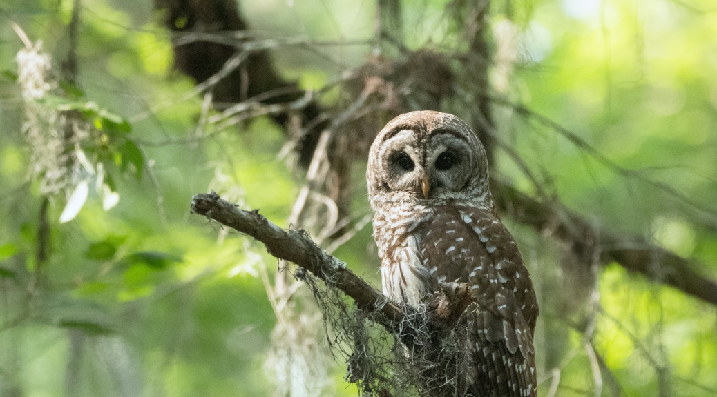 Barred Owl, End Of Day