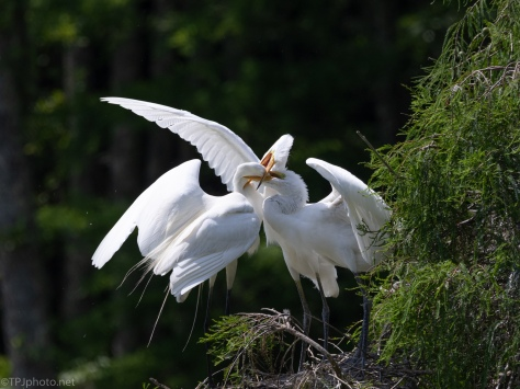 Feeding The Young, Great Egret