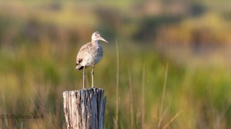 Willet.In A Marsh
