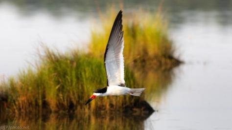 Black Skimmers In A Salt Marsh (1)