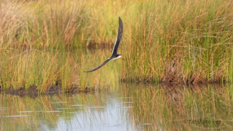 Skimmer Gliding Over A Marsh