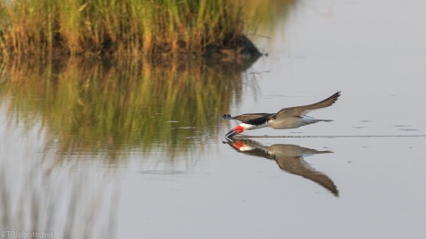 Black Skimmer Reflections