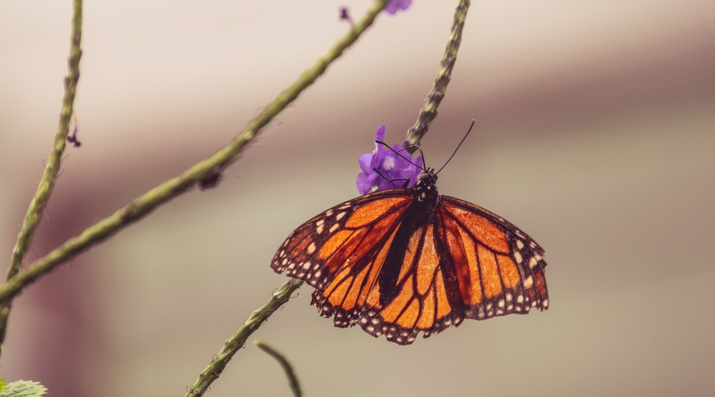 Monarch Maybe ?