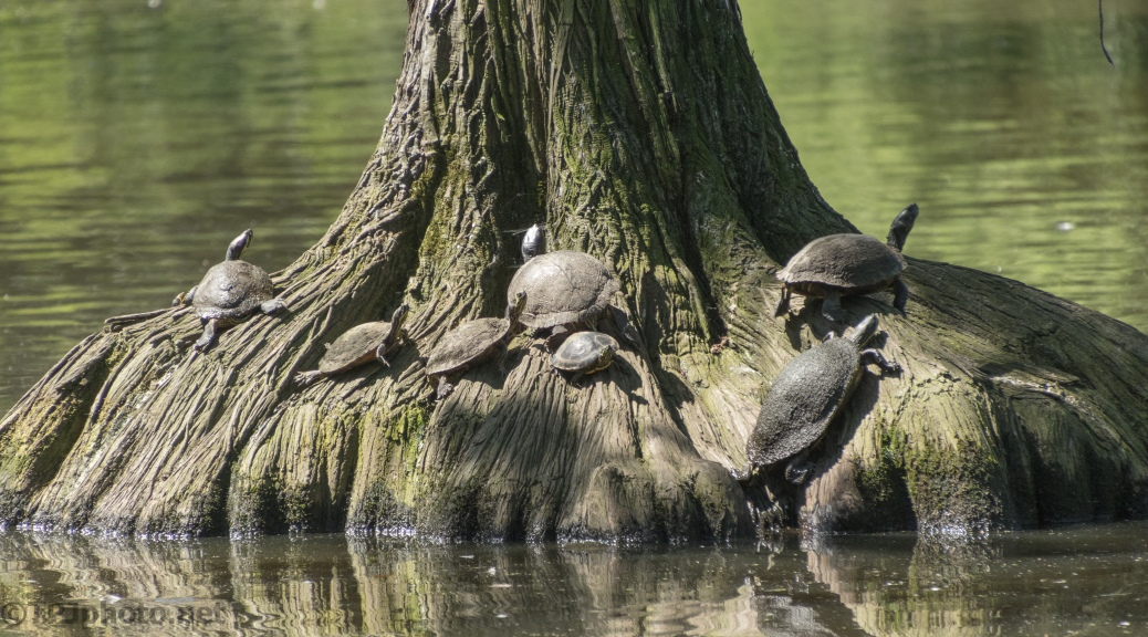 Turtles Love A Big Cypress Tree
