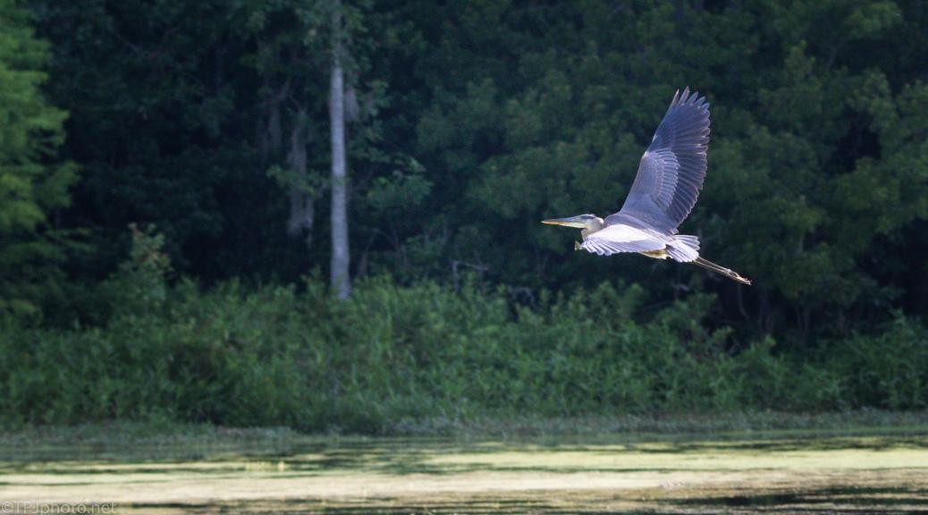 Passing Through, Great Blue Heron
