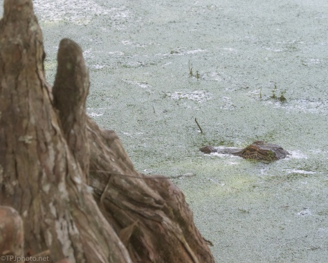 Alligator By The Cypress Knees