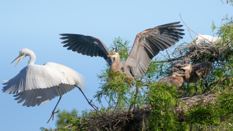 Unhappy Neighbors, Egret, Heron