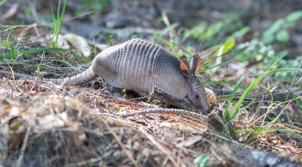 Meeting A Baby Armadillo