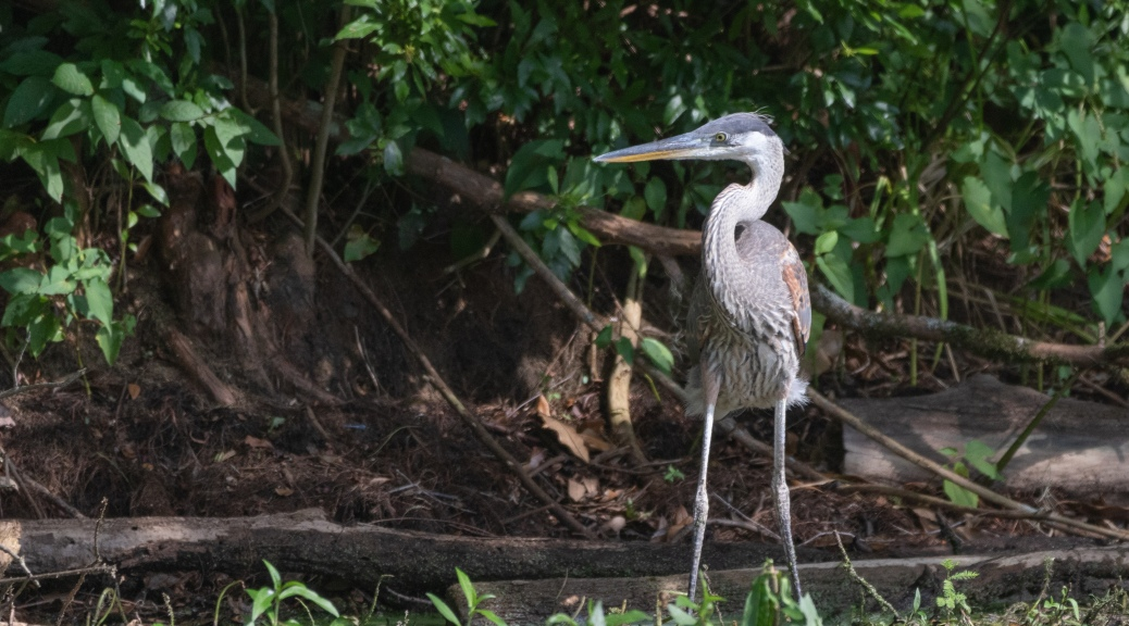Close To Home, Great Blue Heron