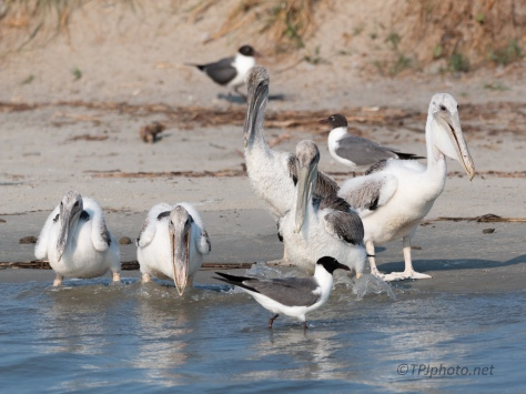Just A Few Kids At The Beach, Pelicans