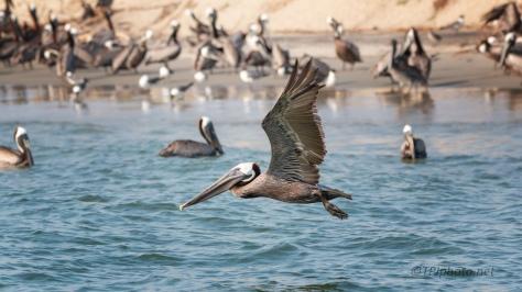 Found A Few Pelicans...