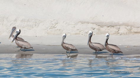 A Group Photo, Pelicans