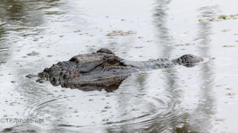 Been Fighting, Alligator