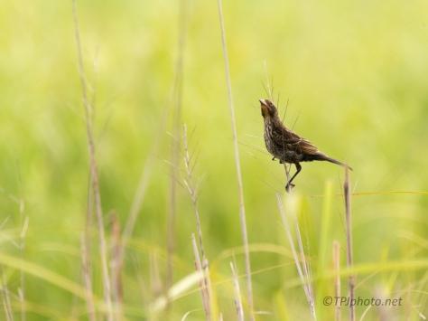 Female Red-winged Black Bird