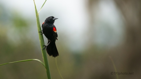 Red-winged Black Bird, Male