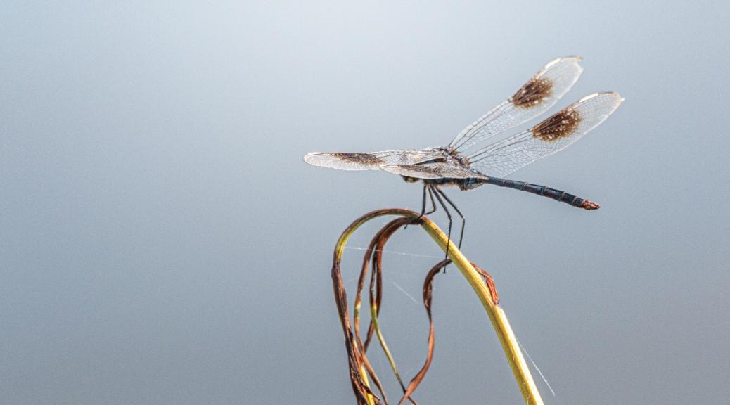 Dragonfly, Again