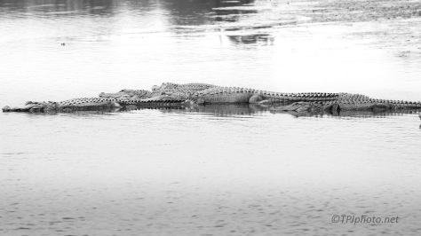A Quiet Afternoon, Alligator