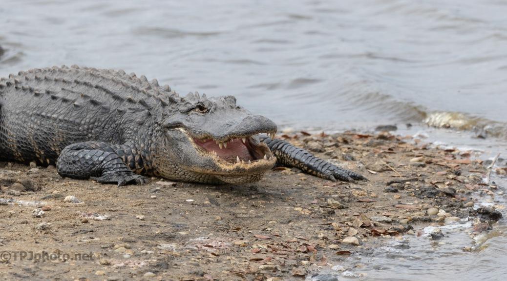 Just Because, Alligator