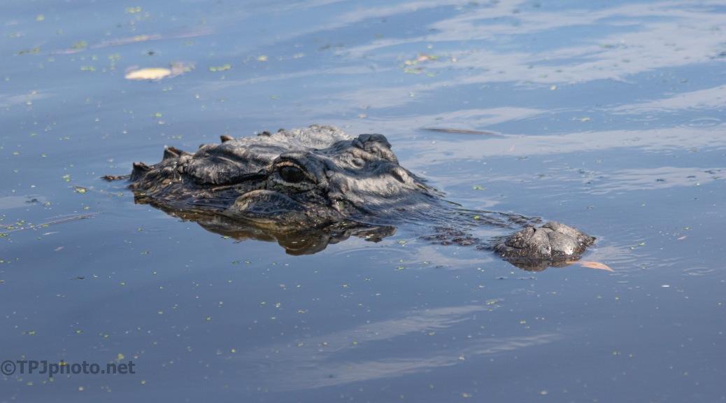 Always Around Somewhere, Alligator