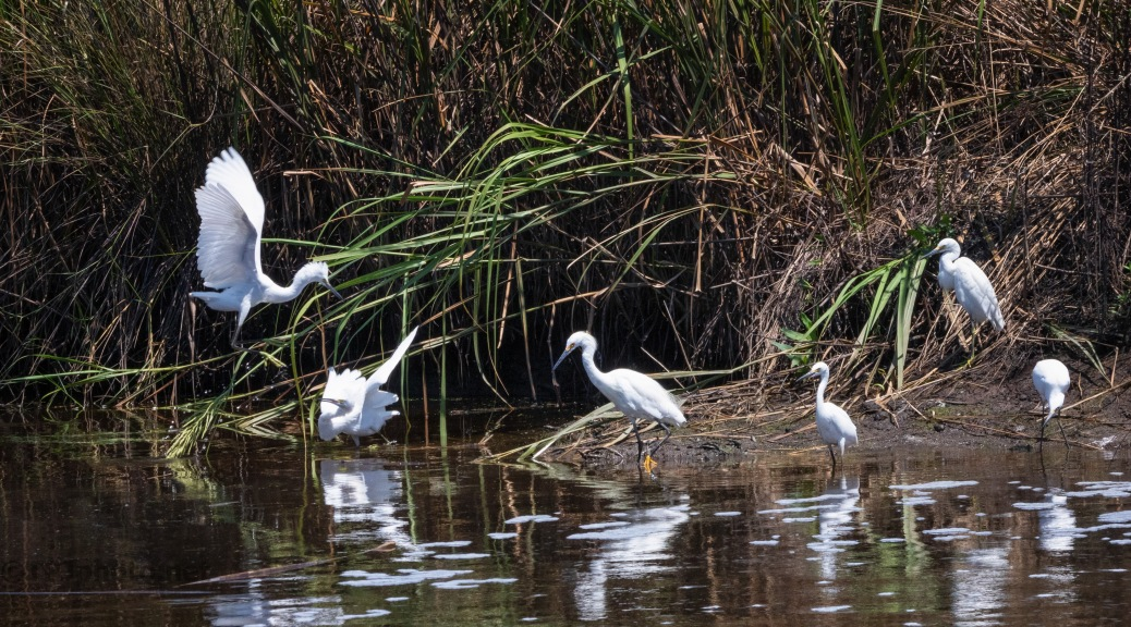 The Typical Snowy Egret Family Gathering