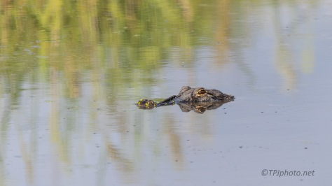 He Saw Us And Stopped, Alligator