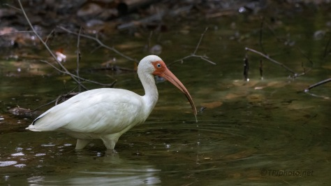 Lone Ibis In A Swamp