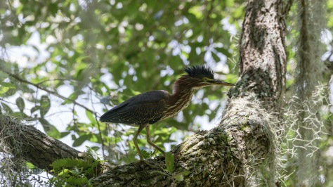Green Heron All Whipped Up
