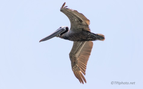 Came In High, Unexpected Pelican