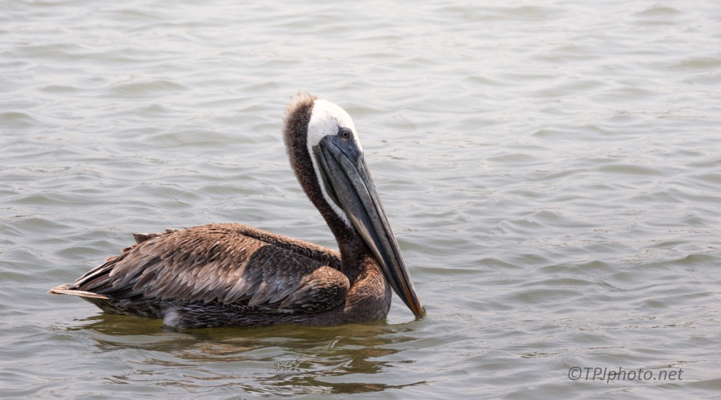 Brown Pelican Near Shrimpers