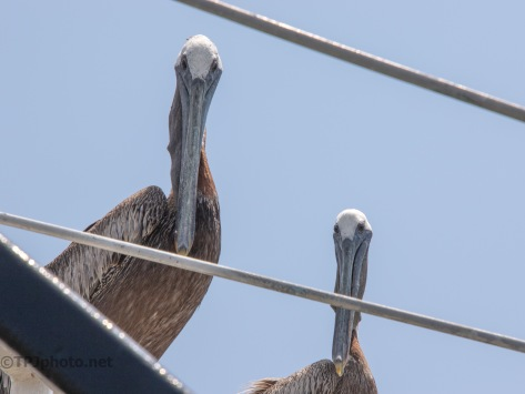An Unexpected Meeting, Pelican