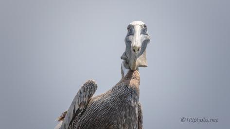 Staring Back At Me, Pelican