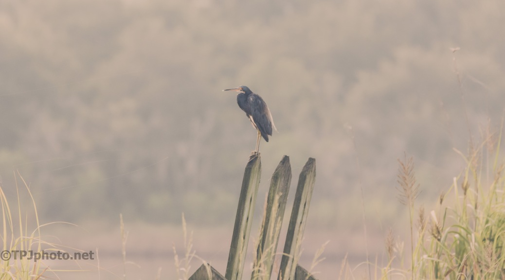Early Tricolored Heron